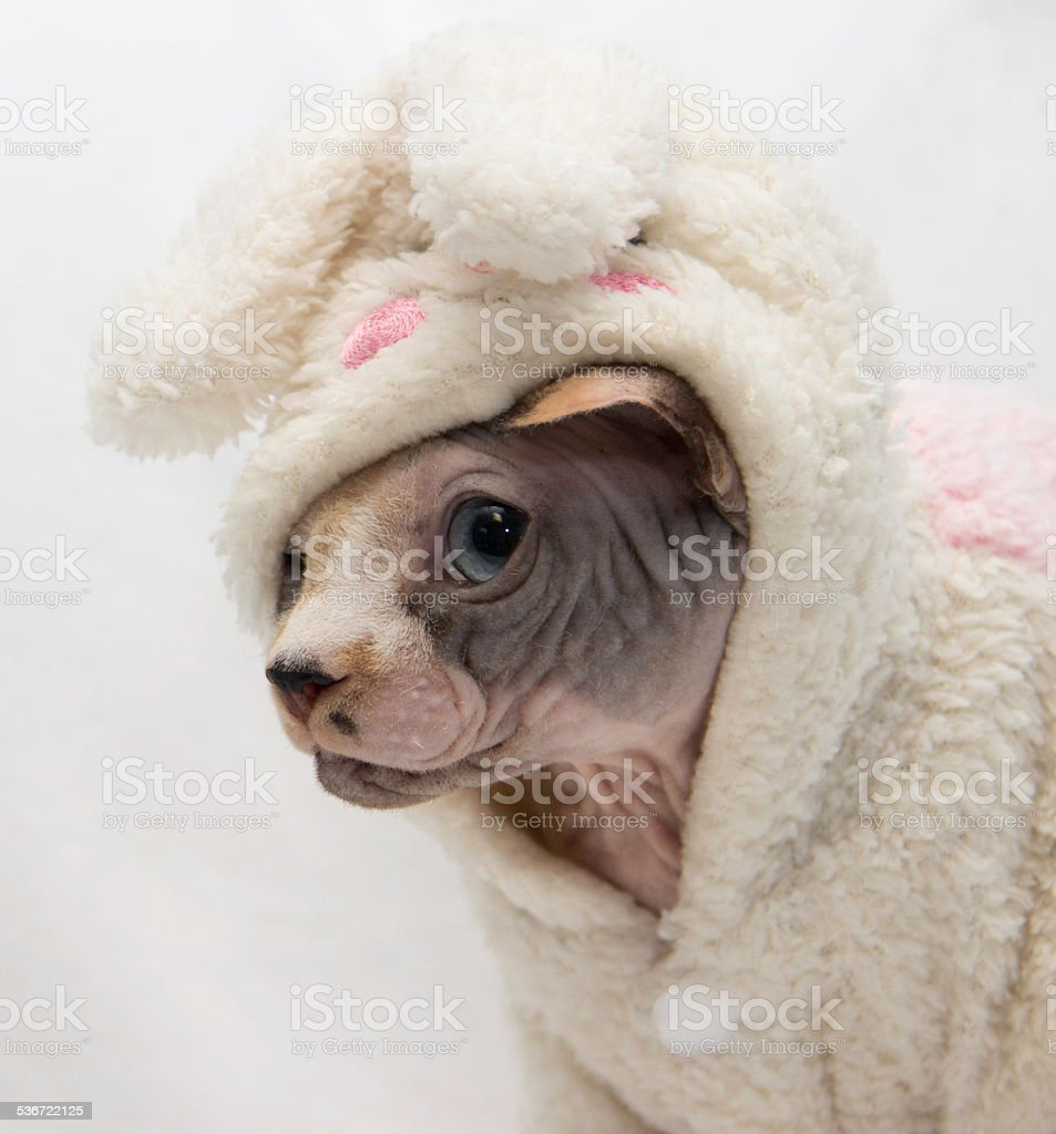 Sphynx wearing a rabbit outfit stock photo