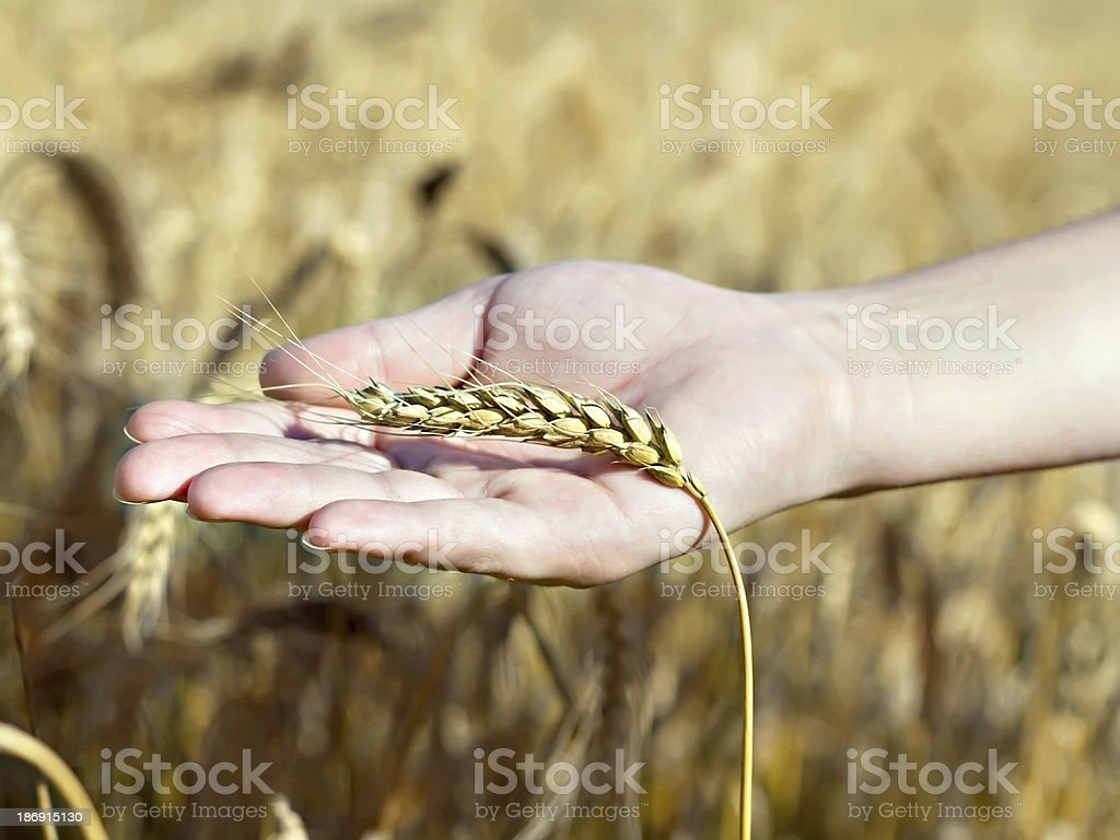spica wheat lying on a palm royalty-free stock photo