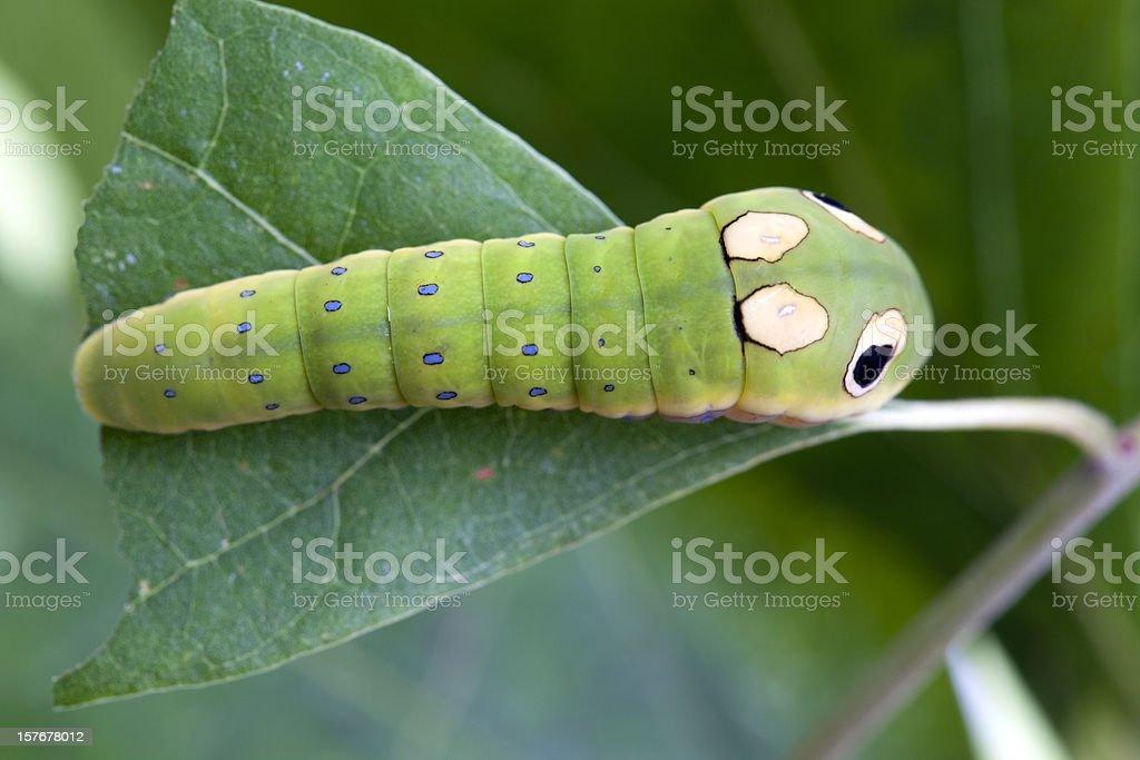 Spicebush Swallowtail Butterfly Caterpillar Larva on Leaf stock photo
