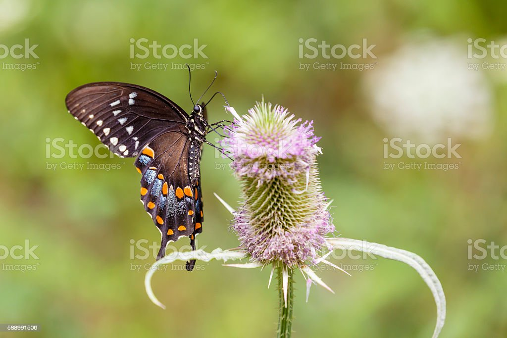 Spicebush Swallowtail Butterfly Nectaring On Common Teasel Flower stock photo
