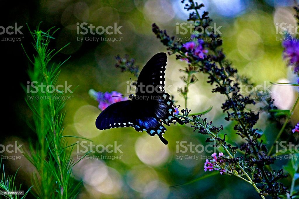 Spicebush Swallowtail Butterfly On Butterfly Weed stock photo
