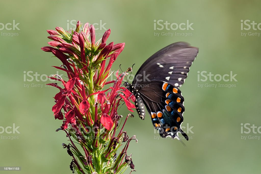 Spicebush Swallowtail Butterfly on Cardinal Flowers stock photo