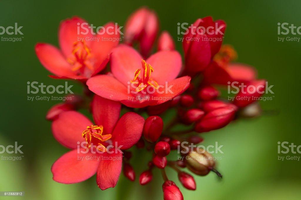 Spicy Jatropha royalty-free stock photo
