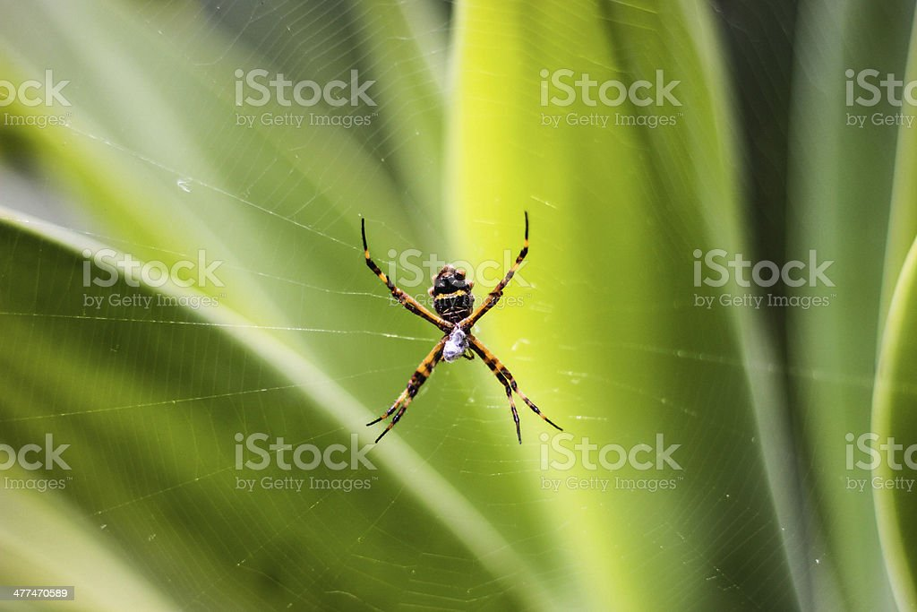 Spider and eggs royalty-free stock photo