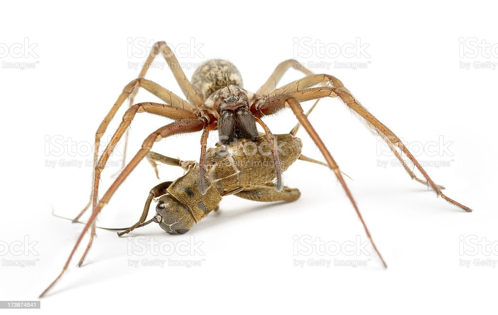 spider and his victim royalty-free stock photo
