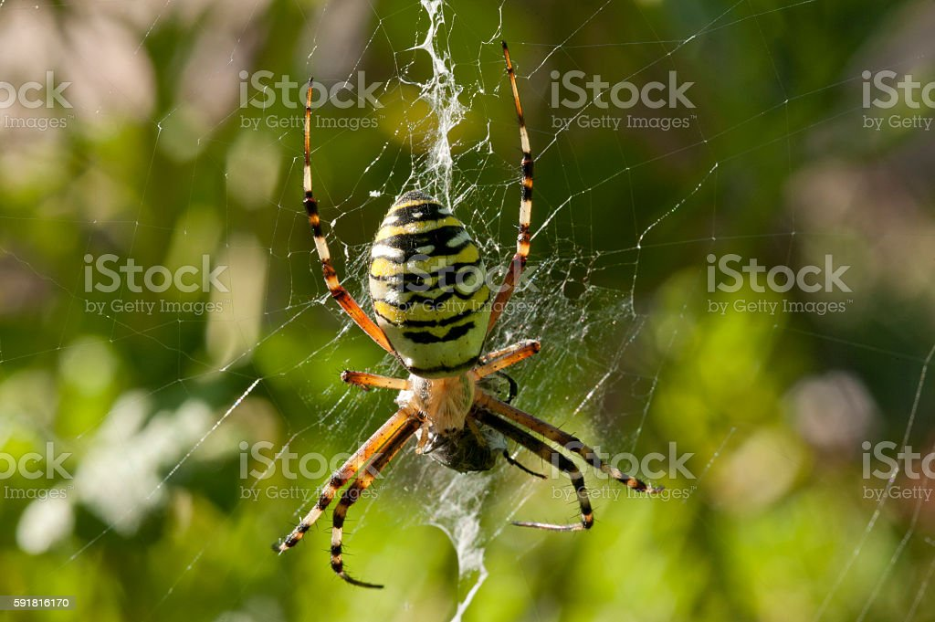 spider argiopa on a web stock photo