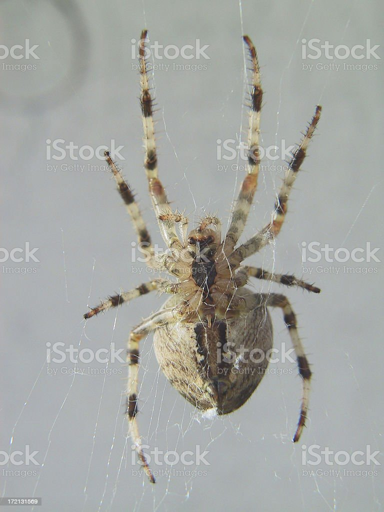 Spider Belly royalty-free stock photo
