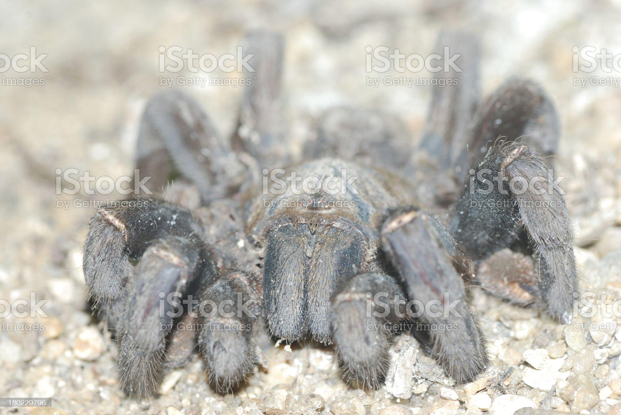 spider bird eating royalty-free stock photo