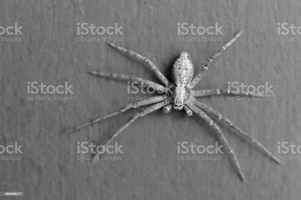 Spider black and white stock photo