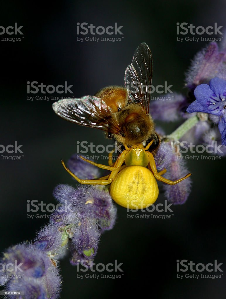 Spider Capturing Honey bee stock photo