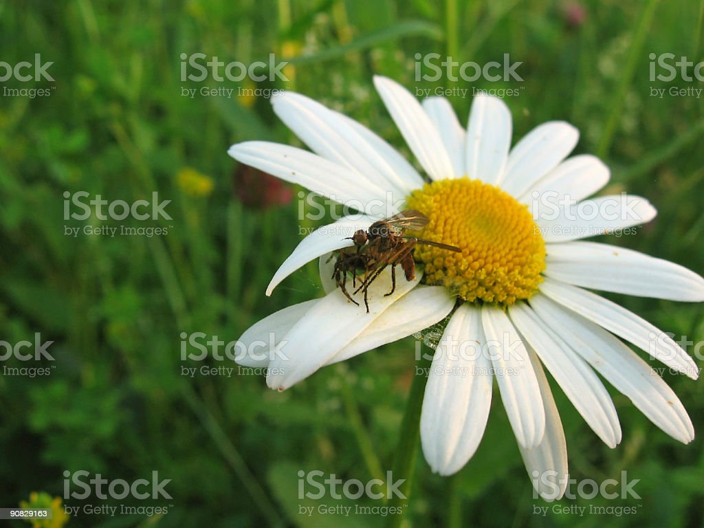 Spider catching an insect royalty-free stock photo