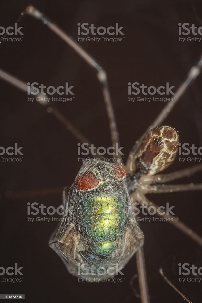 Spider caught a fly in the network stock photo