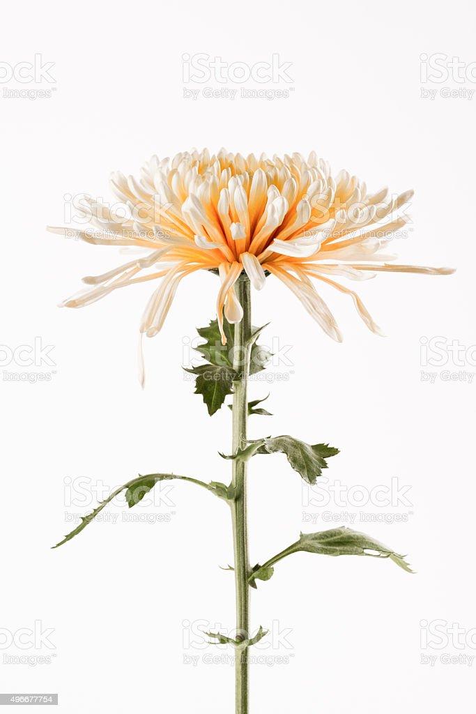 Spider chrysanthemum close up stock photo