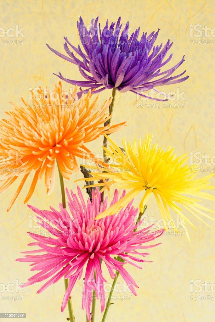 Spider Chrysanthemums stock photo