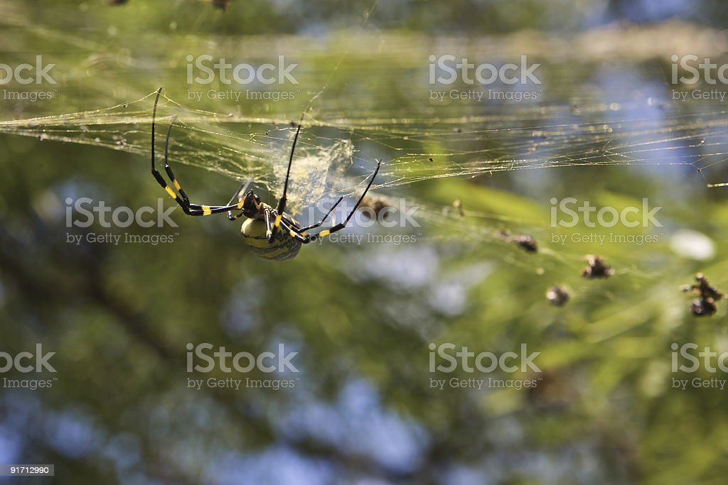 Spider Clinging to his Web stock photo