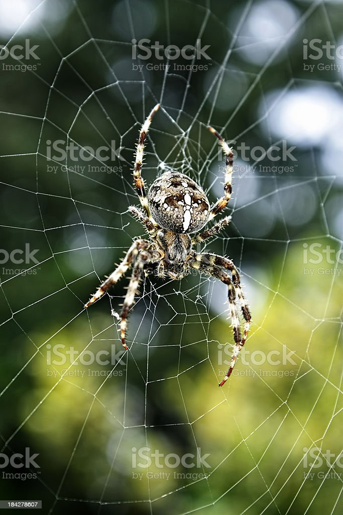 Spider Close Up royalty-free stock photo