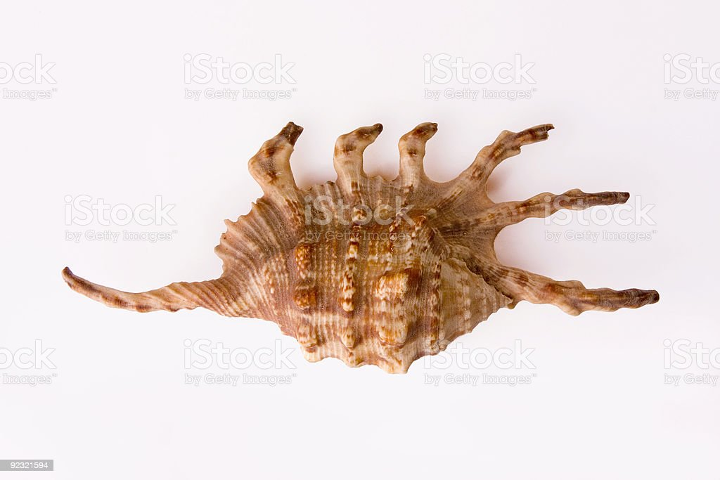 Spider conch shell on white background stock photo