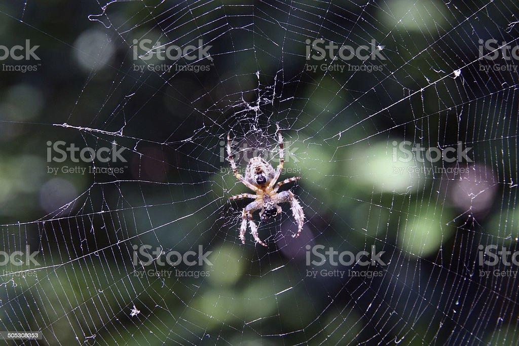 Spider crusader stock photo