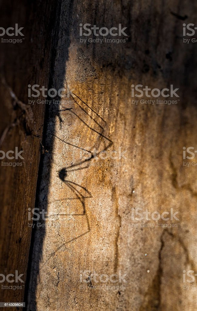 Spider Daddy Longlegs shadow on a tree plank stock photo