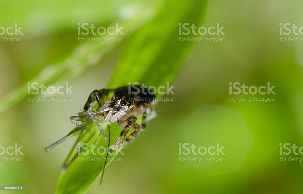 Spider Eating The Victim royalty-free stock photo