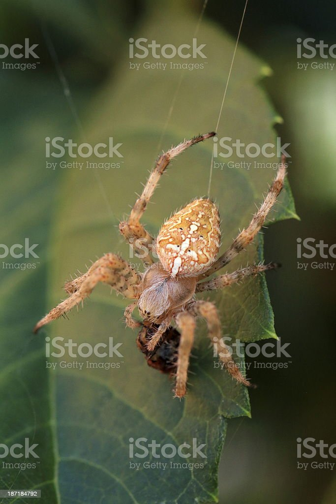 Spider feasting with a wasp royalty-free stock photo
