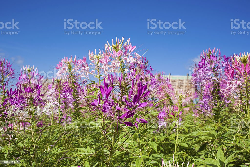 Spider flower or Cleome spinosa in Thailand. royalty-free stock photo
