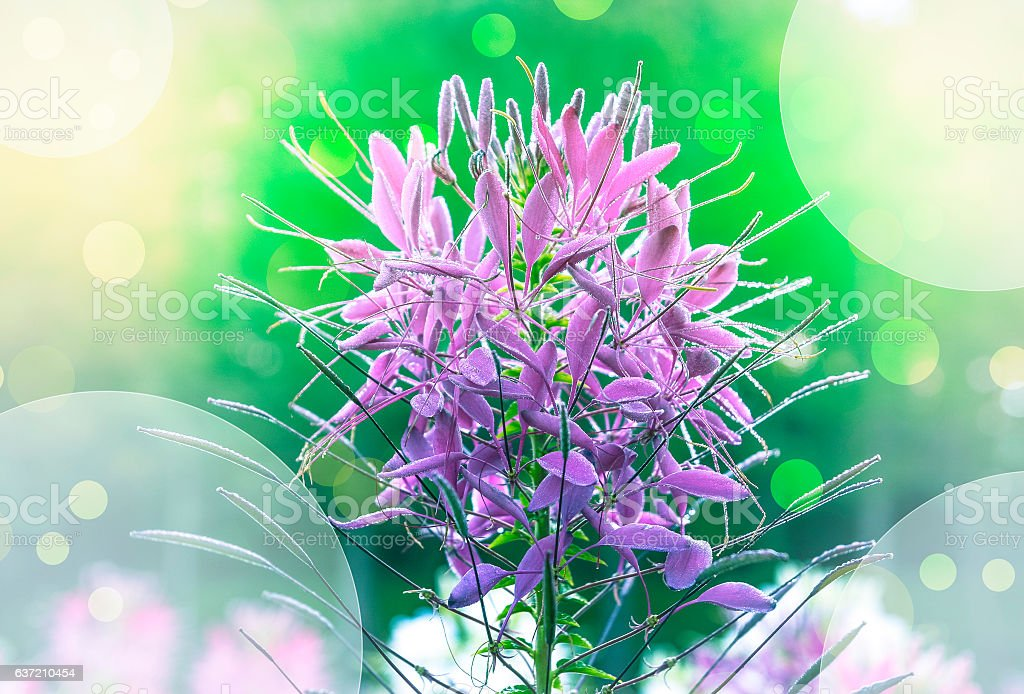 Spider flower (Cleome spinosa) stock photo