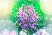 Spider flower (Cleome spinosa)