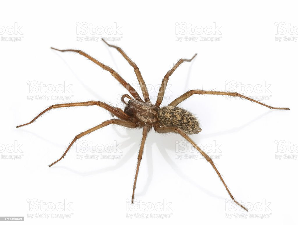 spider  from cellar royalty-free stock photo