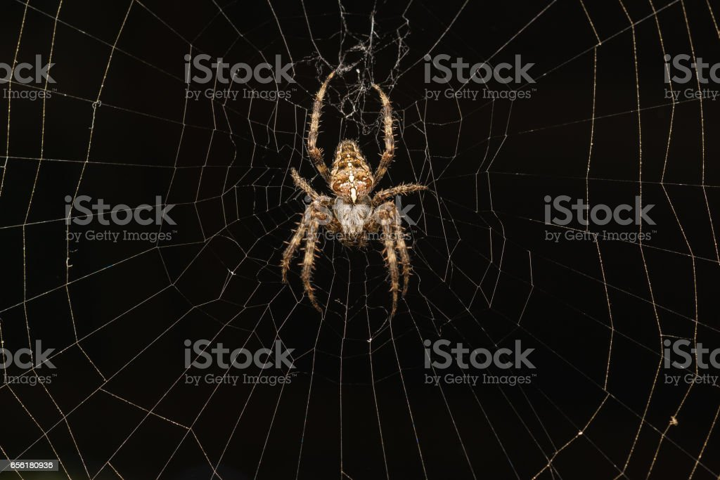 Spider garden-spider (lat. Araneus) kind araneomorph spiders of the family of Orb-web spiders (Araneidae) on a black background stock photo