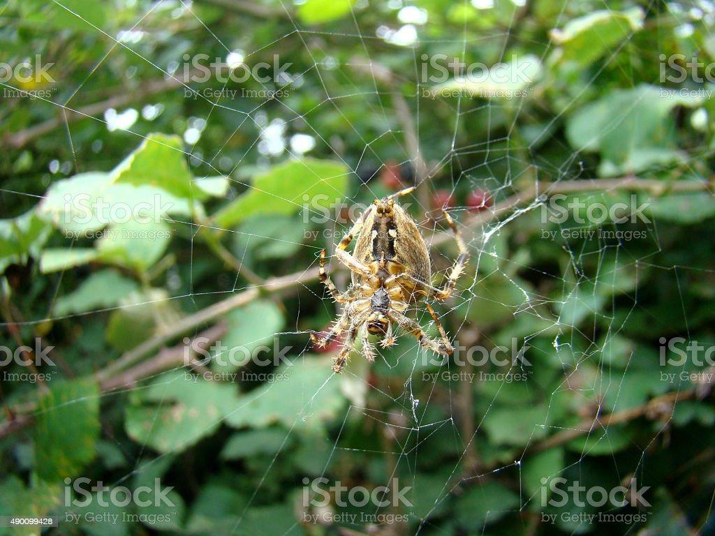 Spider zabezpieczające blackberry bush. zbiór zdjęć royalty-free