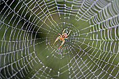 Spider in a Dew Covered Web