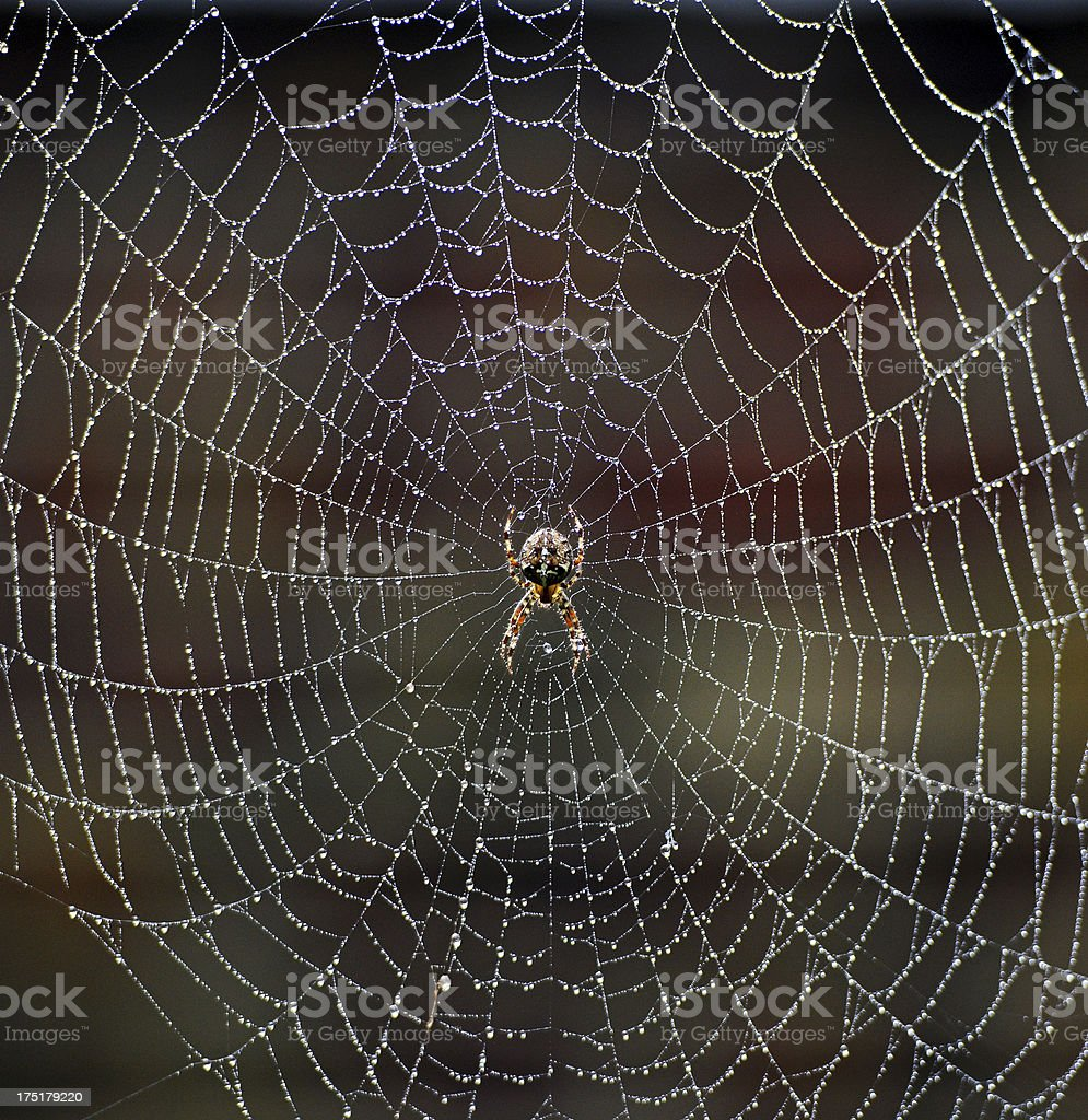 Spider in the morning dew stock photo