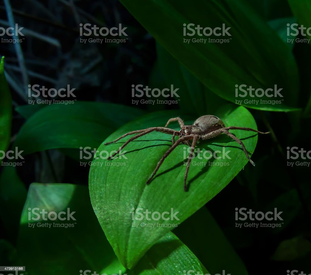 spider in the shadow royalty-free stock photo