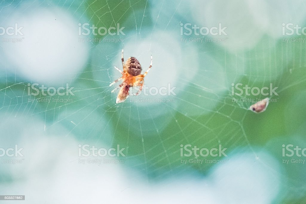 Spider In Web Wrapping Its Prey stock photo