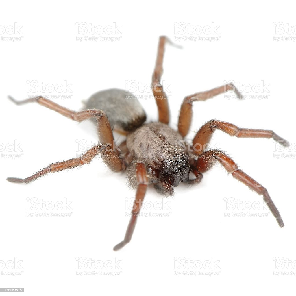 Spider (Haplodrassus Signifier) Isolated on White Background royalty-free stock photo