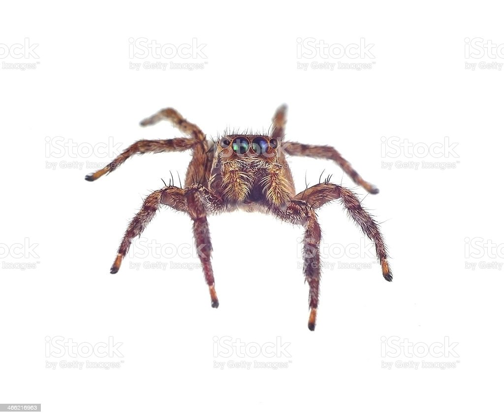 Spider isolated on white background royalty-free stock photo