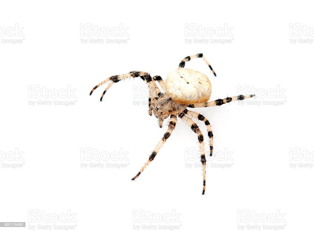 spider isolated stock photo