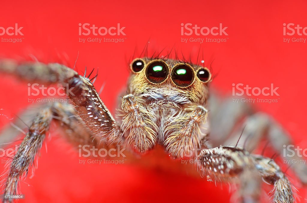 Spider jumper on the red background stock photo