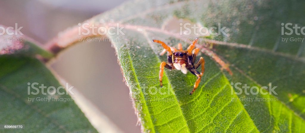Spider jumping between the leaves of the forest floor stock photo
