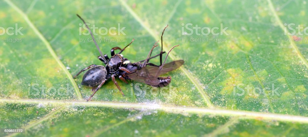 Spider jumping felling an insect on green leaf stock photo