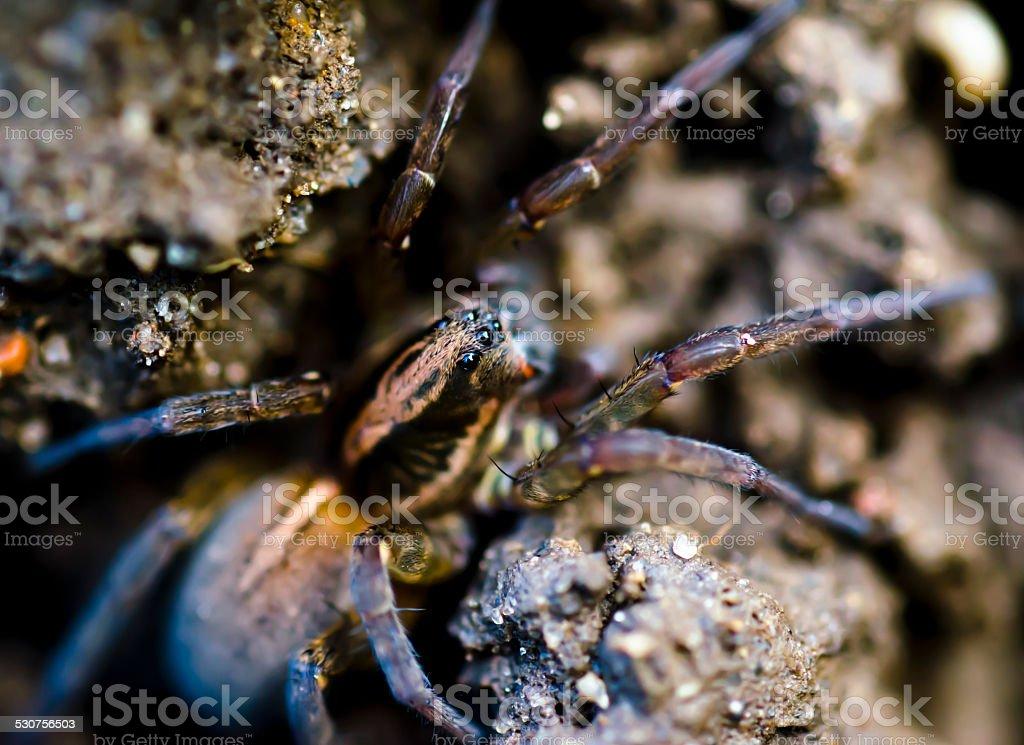 Aranha, Aranha saltadora no prawl. foto de stock royalty-free