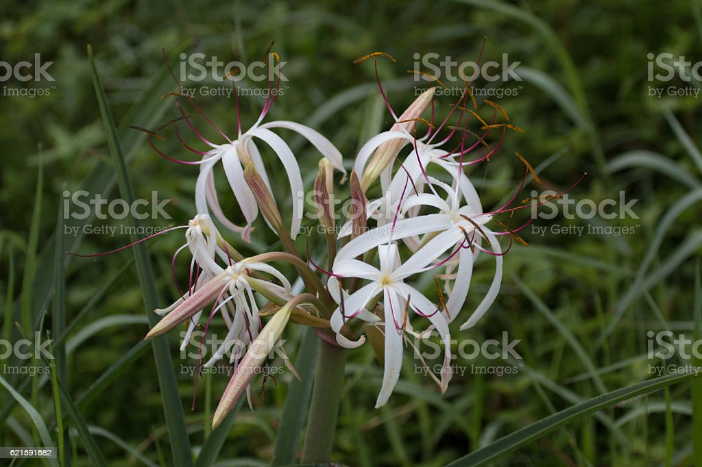 Spider lily in bloom stock photo