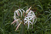 Spider lily in bloom