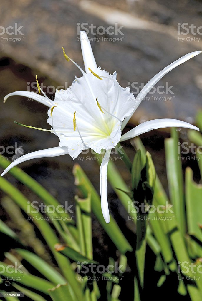Spider Lily royalty-free stock photo