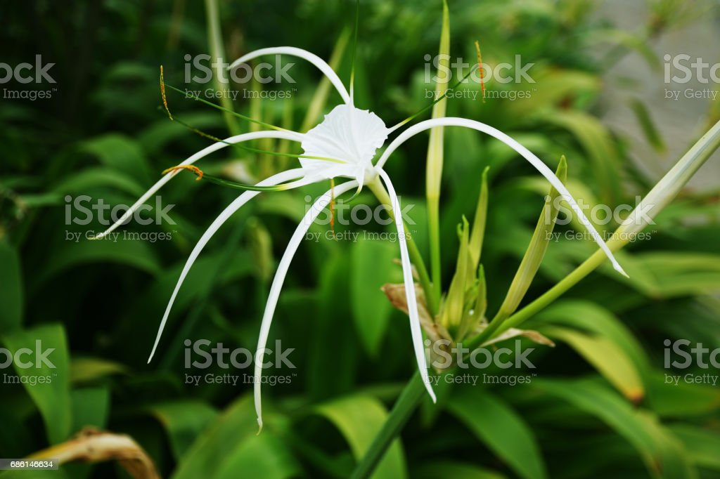 Spider Lily White Flower stock photo