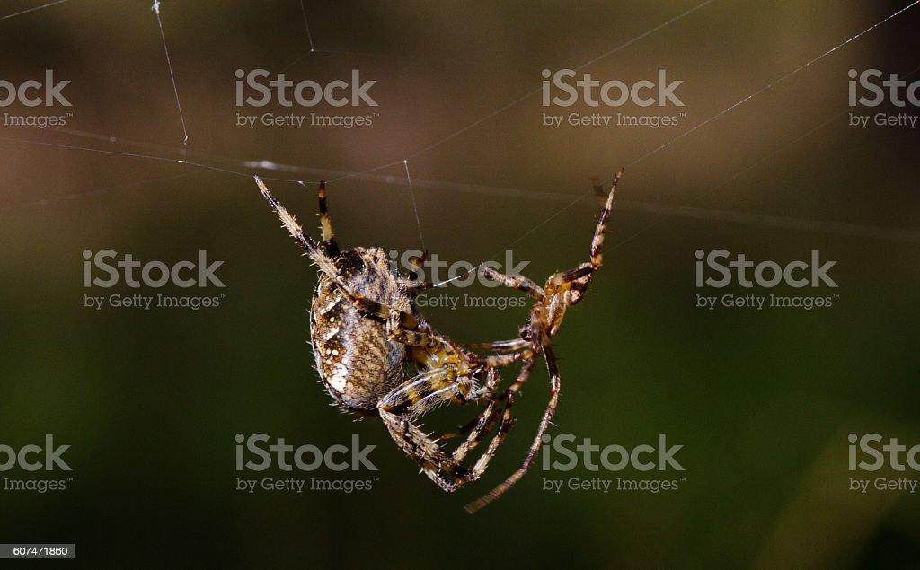 Spider mating behavior stock photo