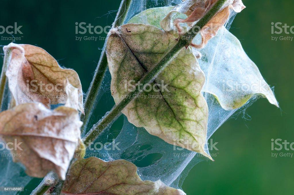 Spider mite pests stock photo