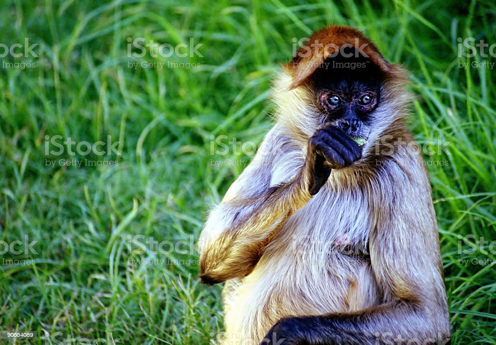 Spider Monkey 01 royalty-free stock photo