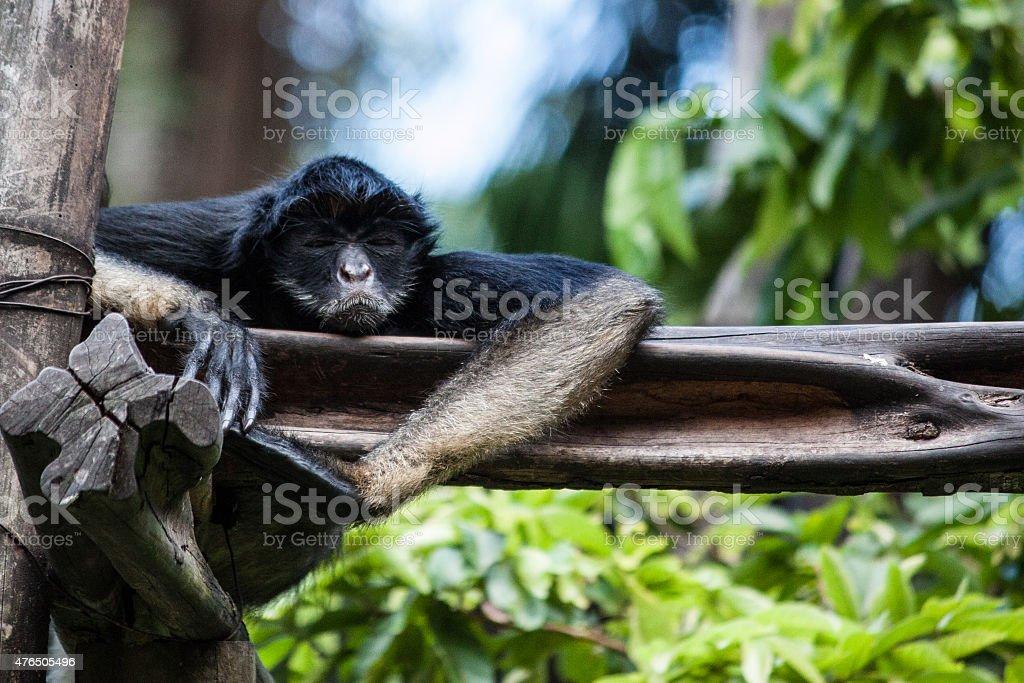 Spider monkey looking grumpy stock photo